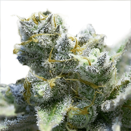 LIMONCELLO HAZE ® FEMINIZED